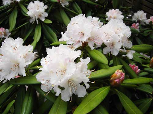 110401_Rhododendron